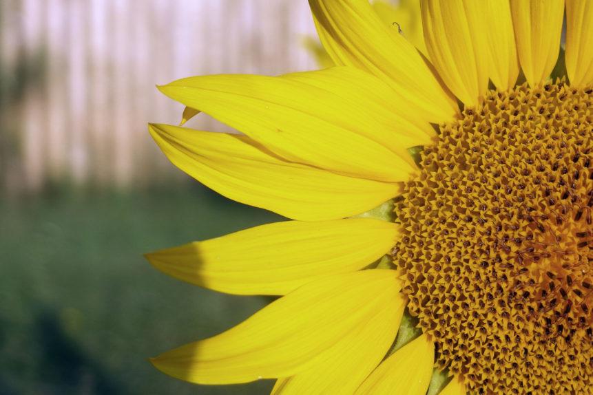 Free photo: Sunflower