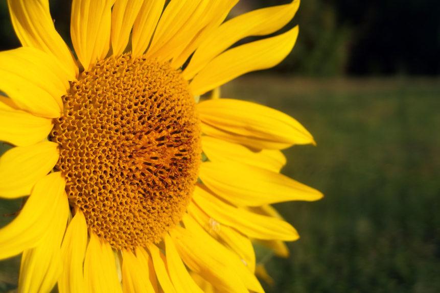 Free photo: Sunflower Blossom