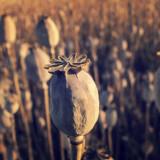 Free photo: Dry Poppy Field