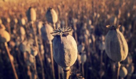 Dry Poppy Field