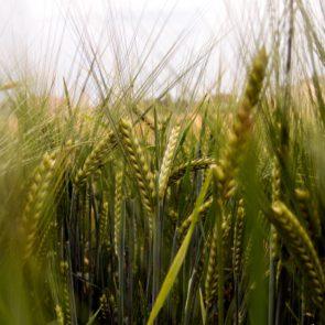 Free photo: Barley