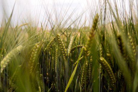 Green Barley On The Field