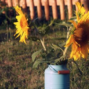 Free photo: Sunflowers