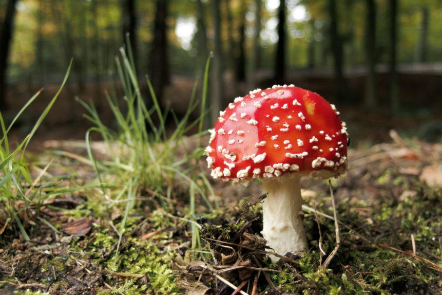 Free Photo: Fly Agaric Mushroom