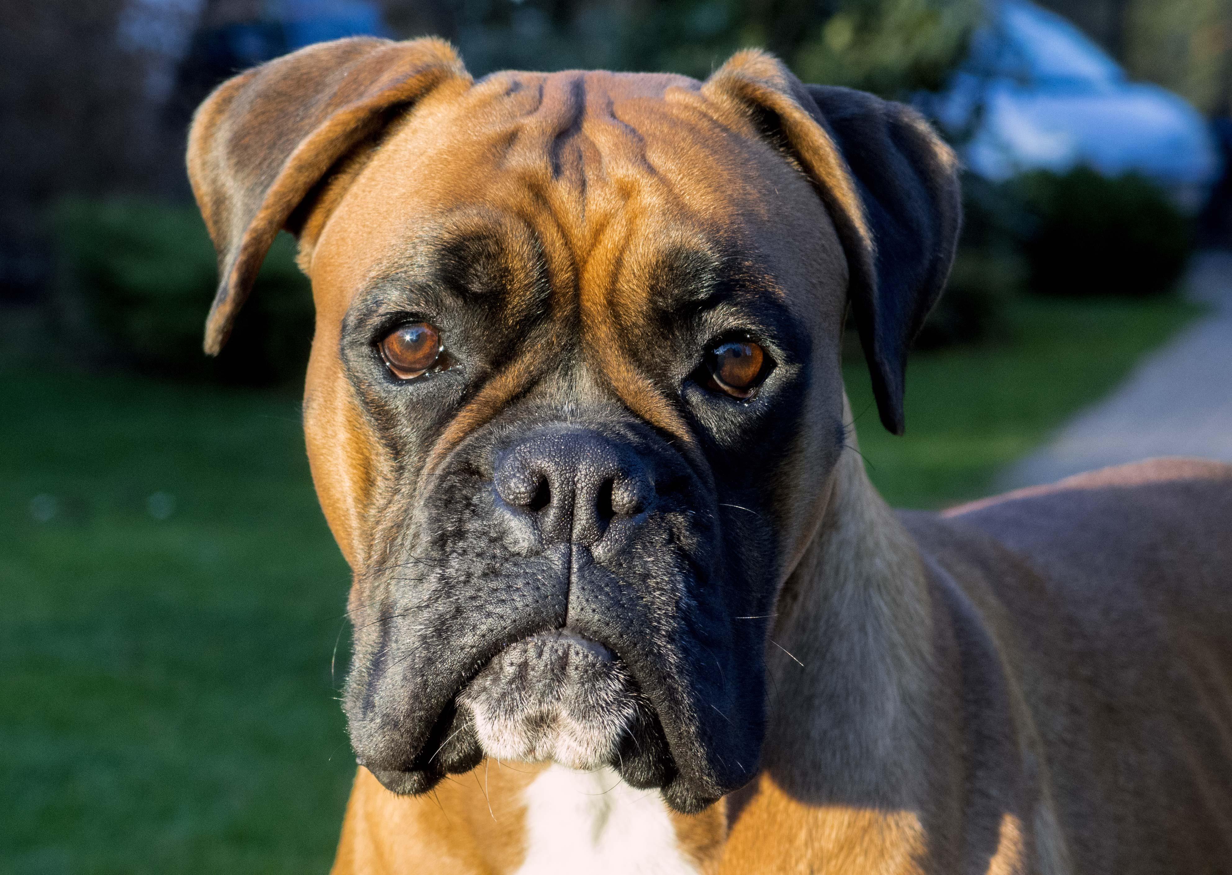 Boxer dog face - Free Stock Photos ::: LibreShot
