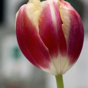 Free photo: Tulip flower