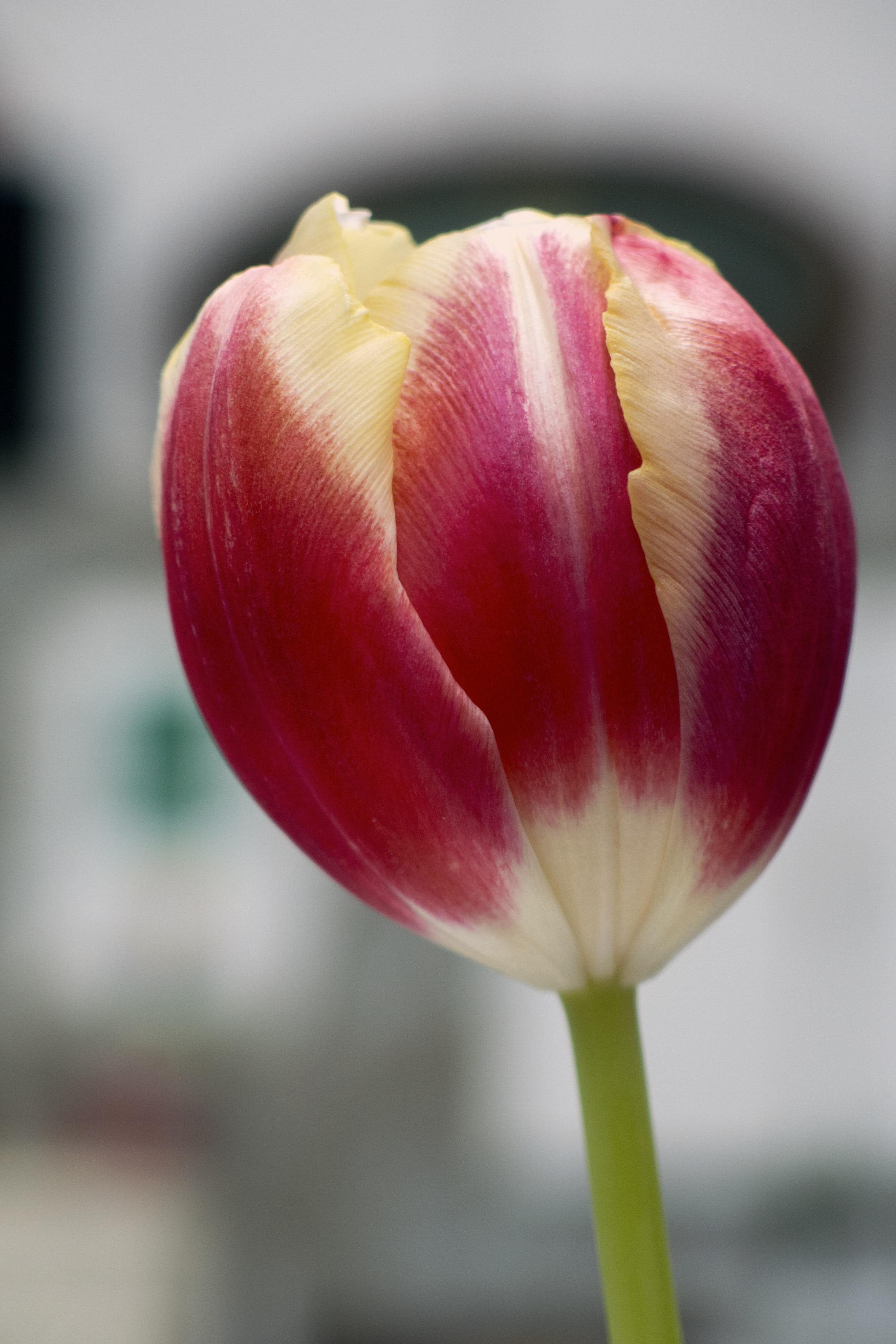 Free Image Tulip Flower Libreshot Public Domain Photos