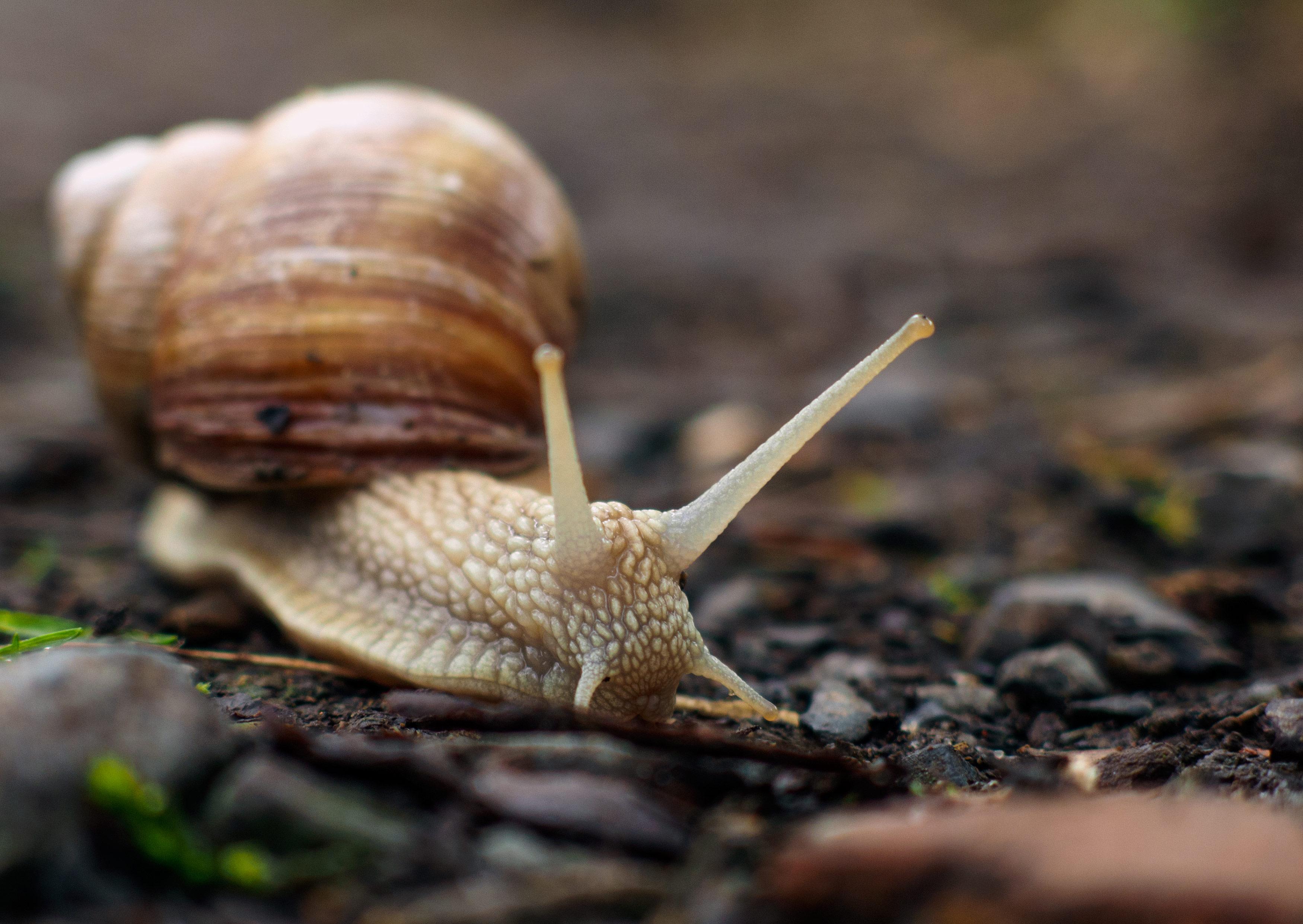 Snail Close Up - FREE image on LibreShot