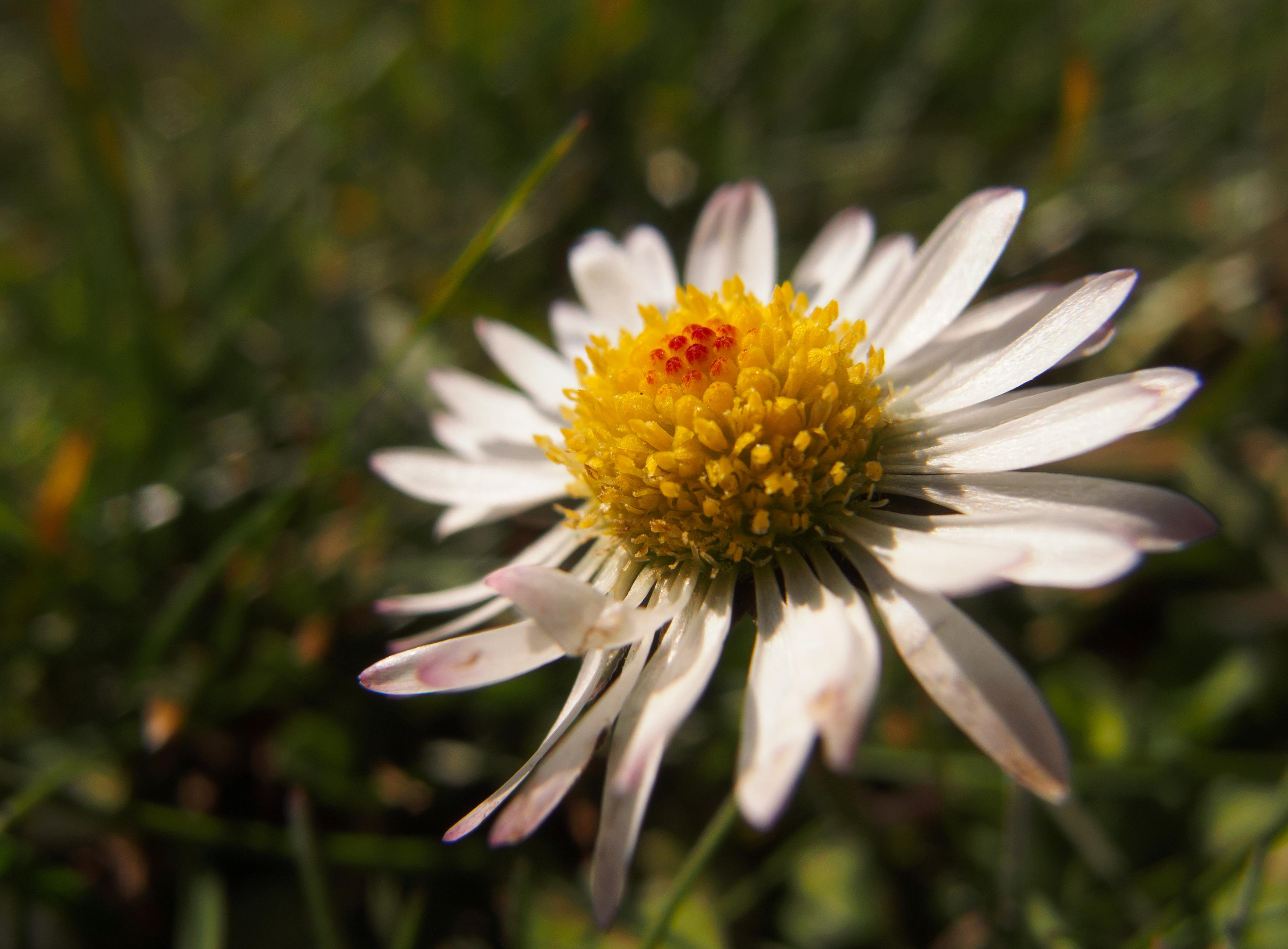 free image: daisy flower | libreshot public domain photos