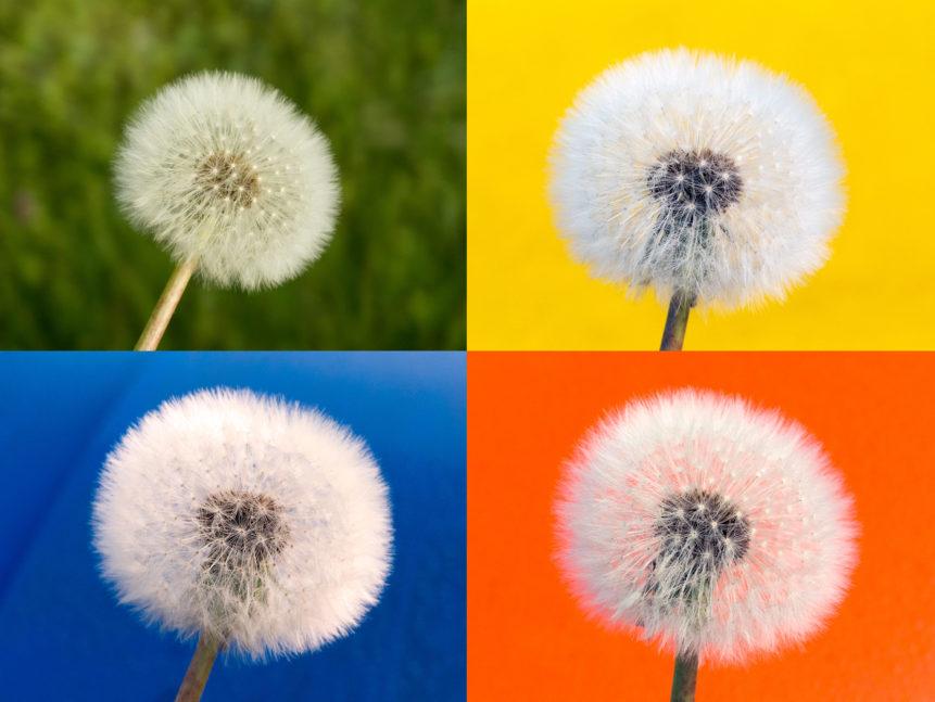 Dandelions in four color
