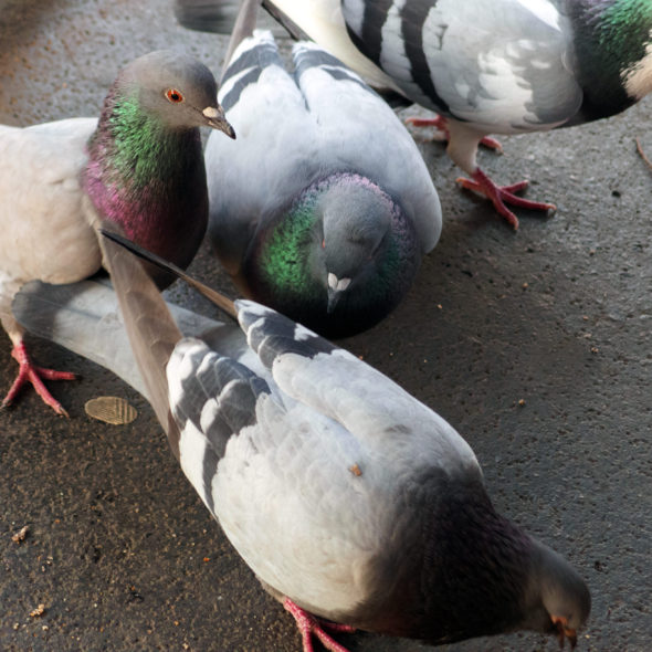 Domestic pigeons in the city - free image for download