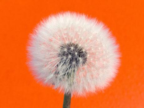 Withered dandelion – Orange Background