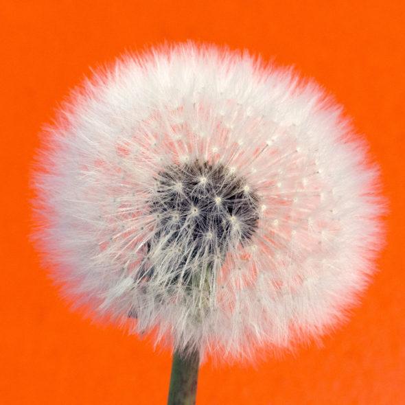 Withered dandelion - Orange Background