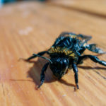 Bumblebee rescued from water