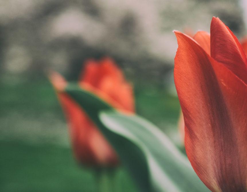 Red tulips - nature art