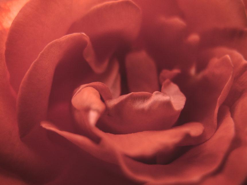 Red Rose Blossom Detail