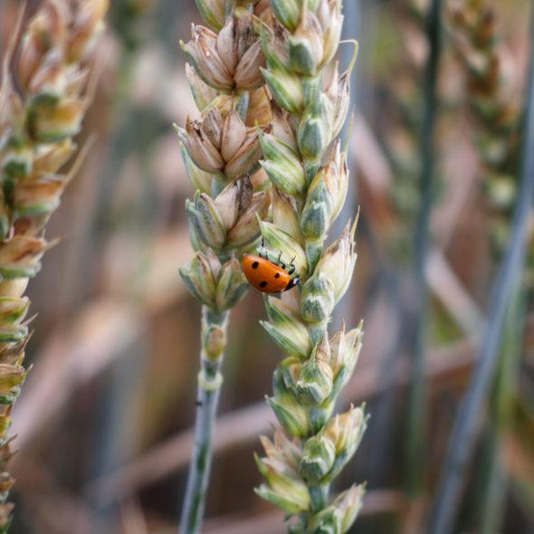 Ladybird on a Wheat Spike