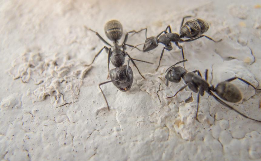 Black ants macro photography