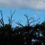 Silhouettes Of Cormorants Nesting In The Trees