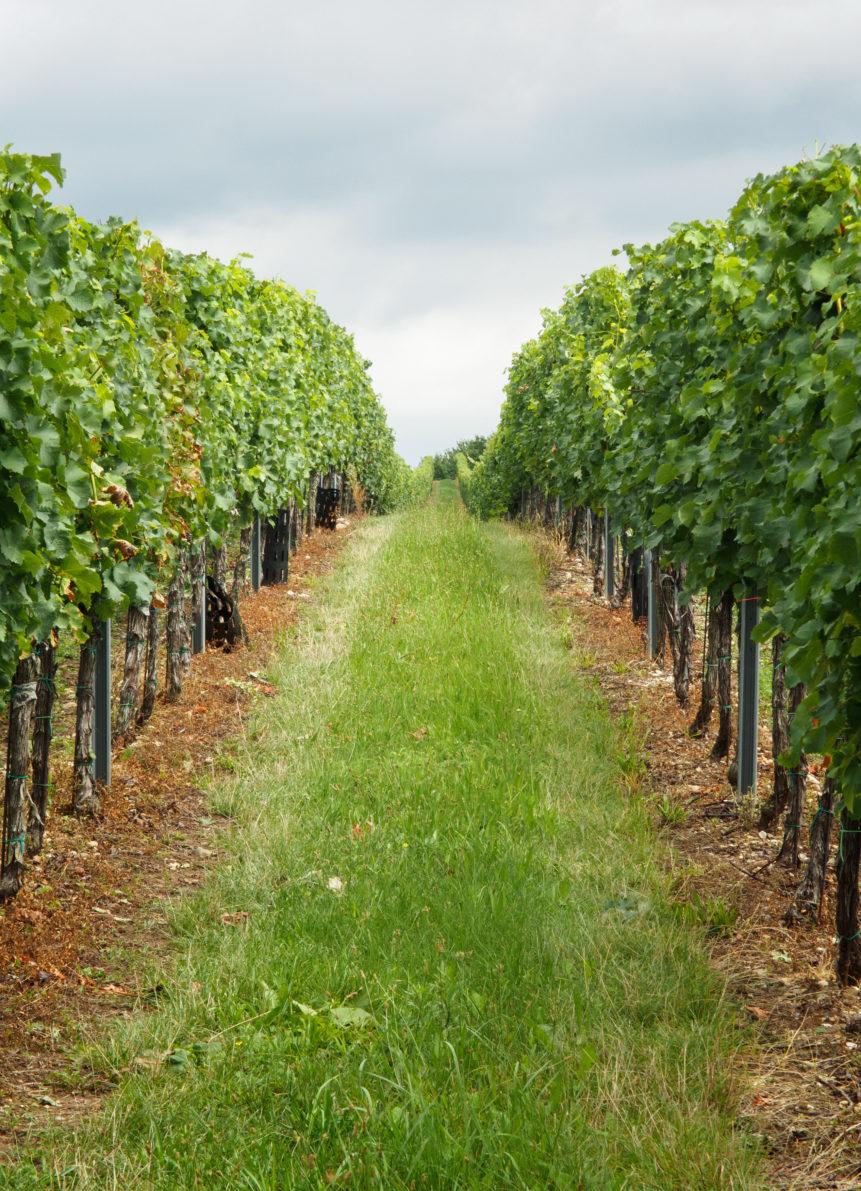 Vineyard South Moravia