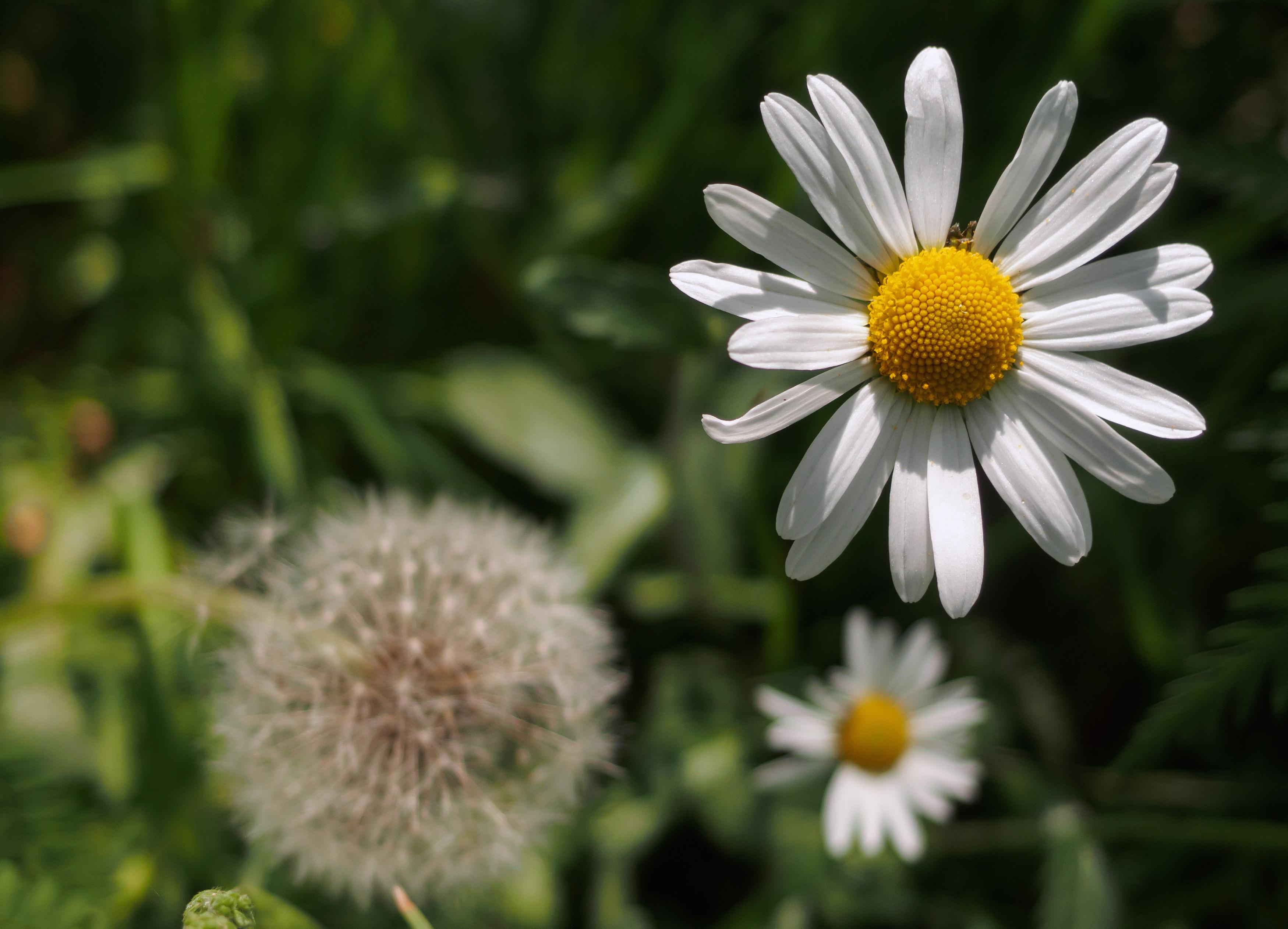 leucanthemum flower free stock images by libreshot