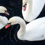 Three Whooper Swans