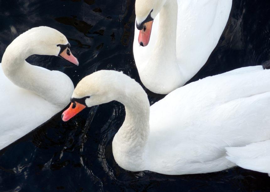 Three Whooper Swans