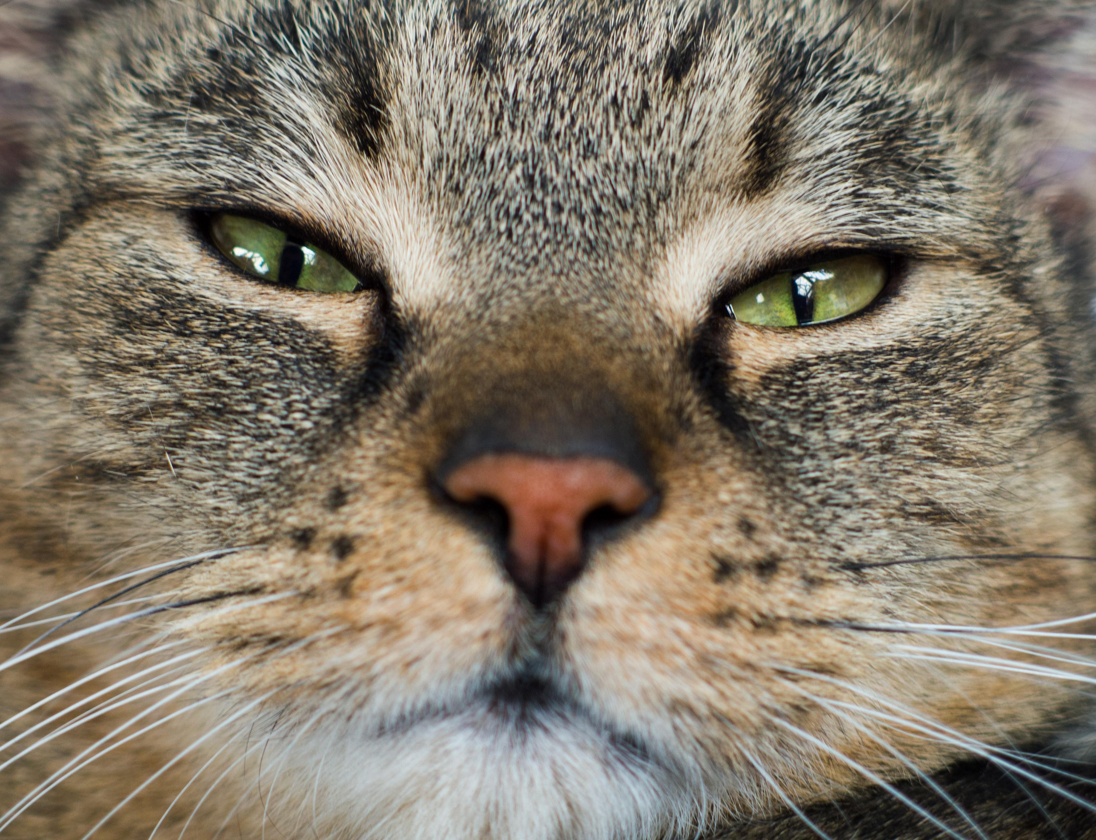 Cat S Face Close Up Free Stock Photo Libreshot
