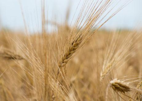 Dry Field Before Harvest