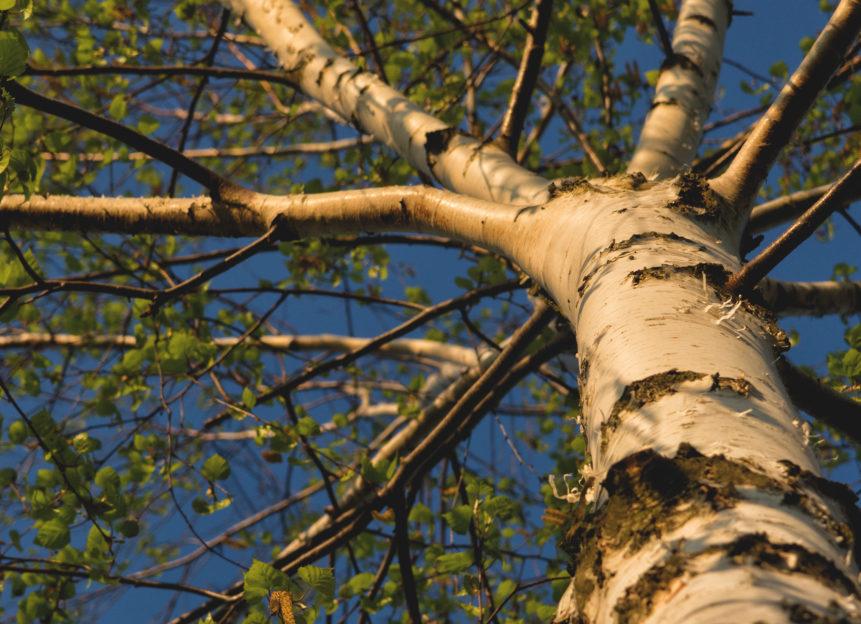 Branches of birch tree