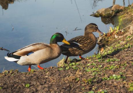 Male And Female Ducks