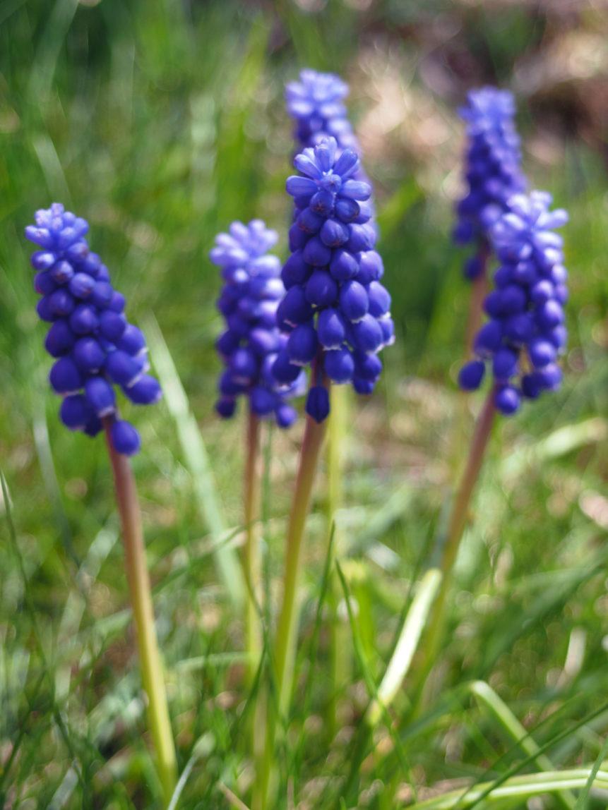 Muscari neglectum plant - FREE image on LibreShot