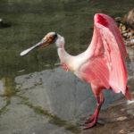 pink water bird platalea ajaja