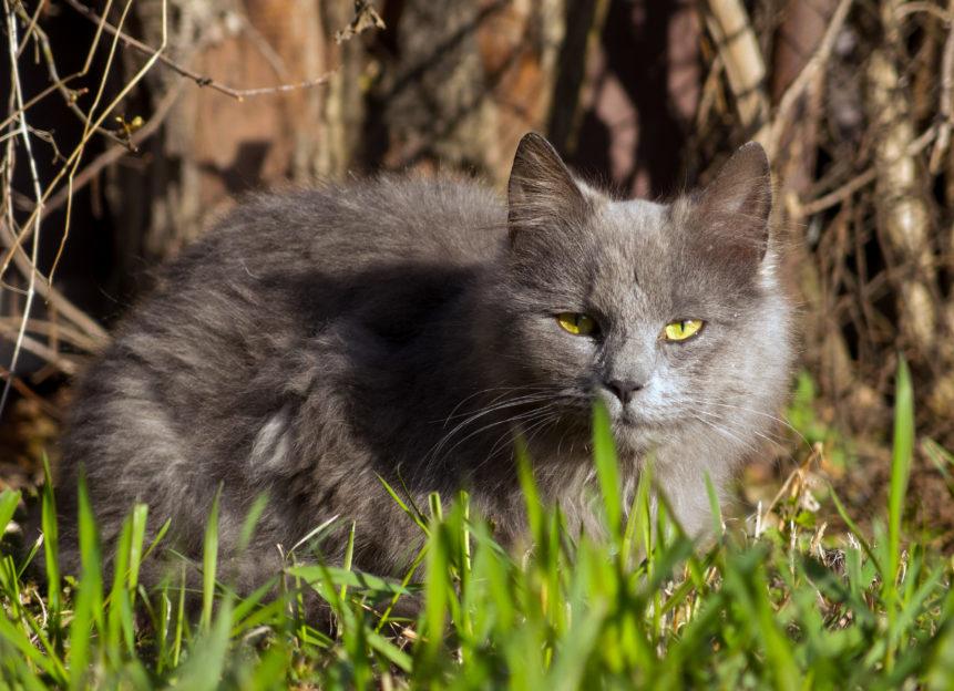 Gray Cat In Grass