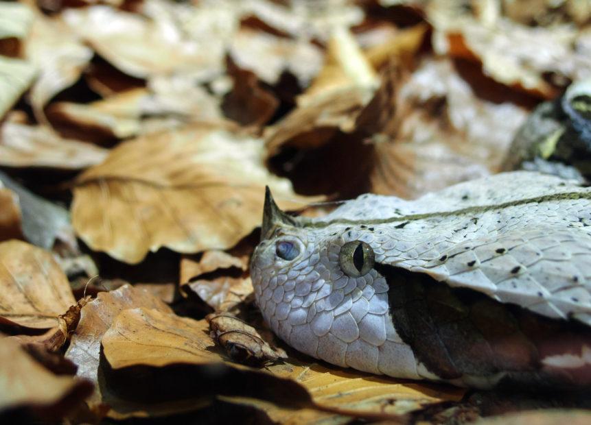 west african gaboon viper