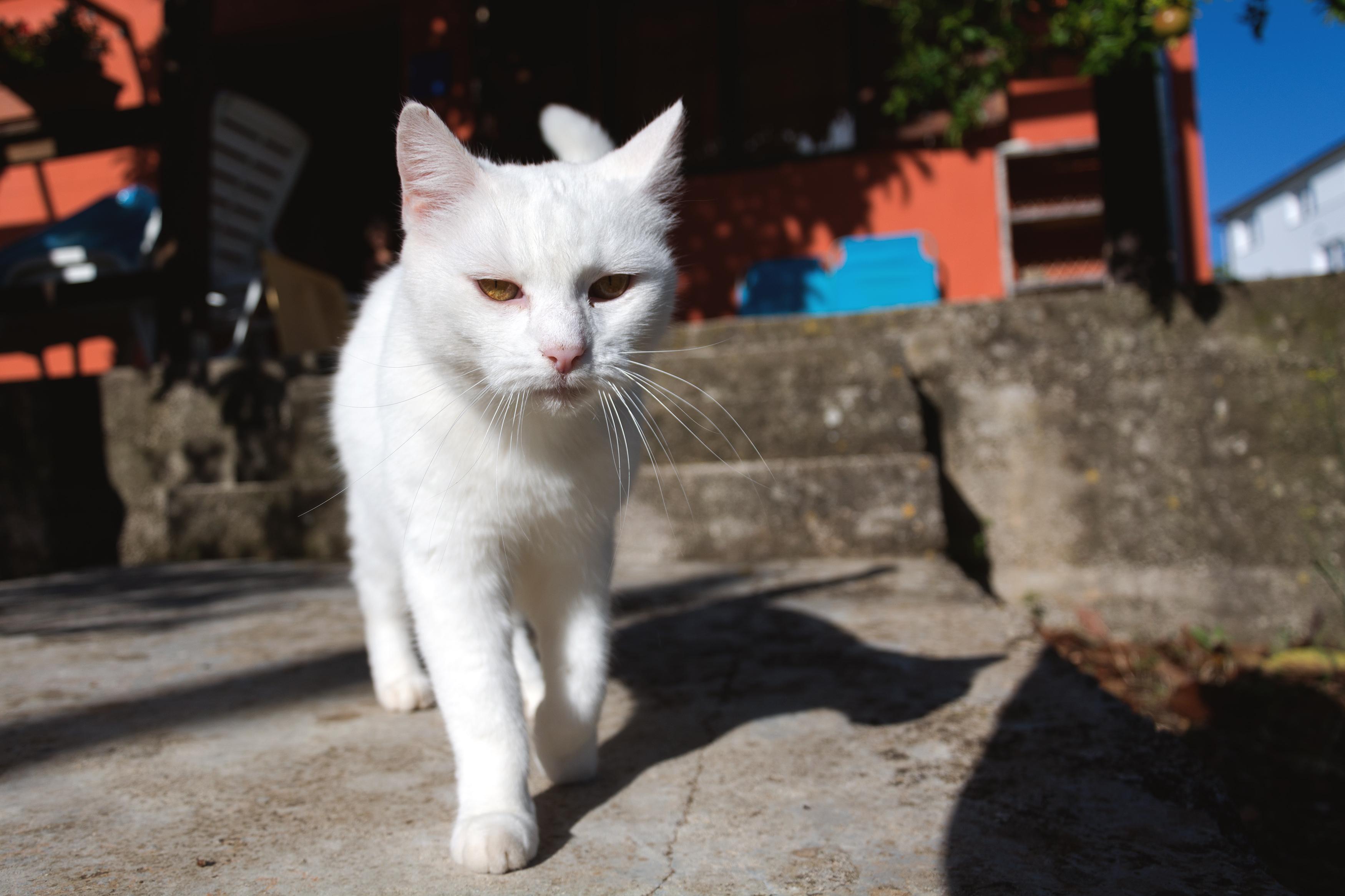 White Cat Free Stock Photo Libreshot