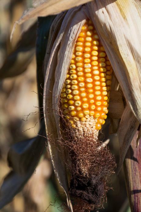 Corn Cob in the Field