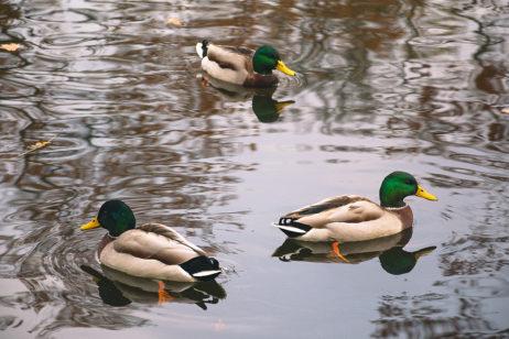 Three Wild Ducks