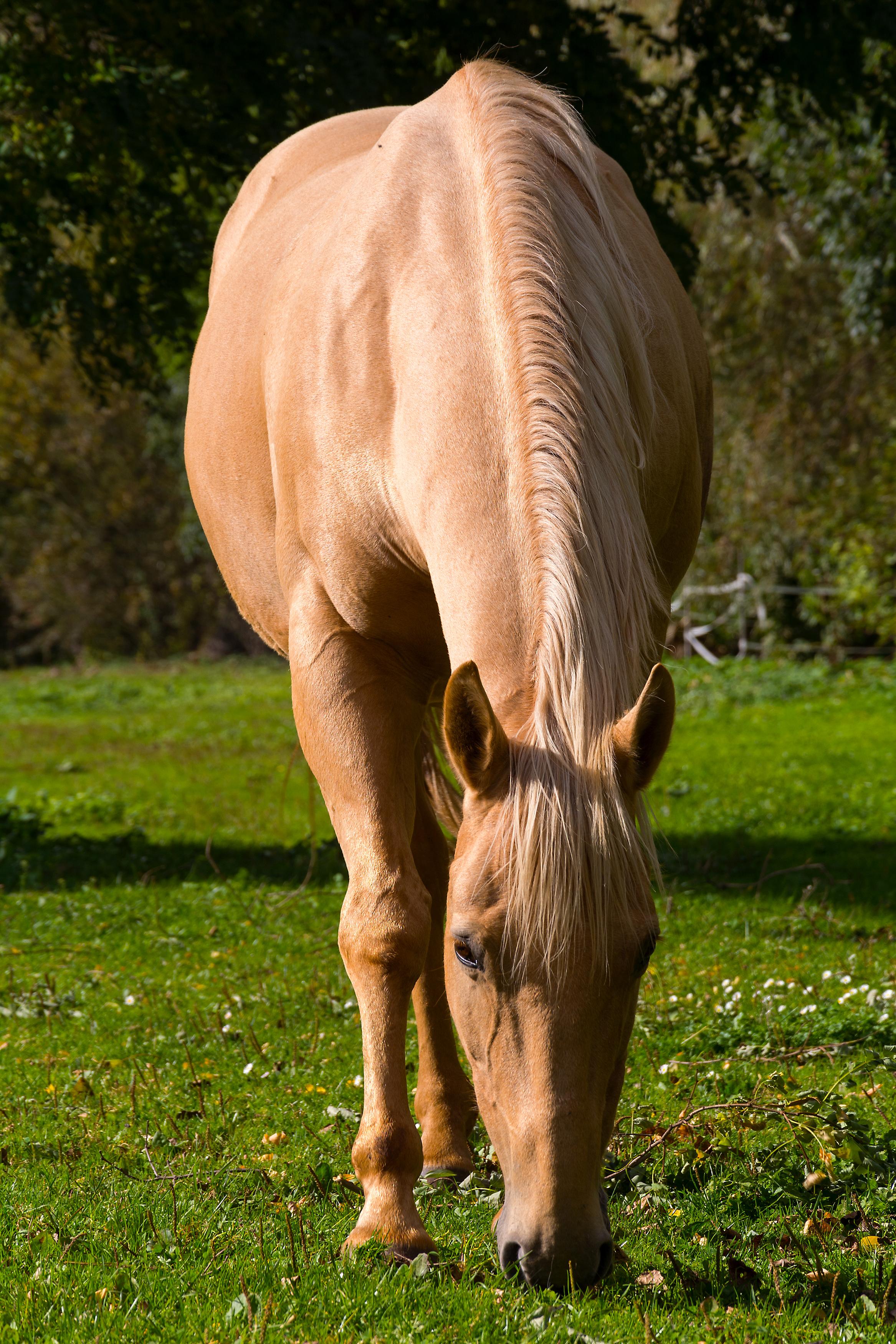 free image buckskin horse libreshot public domain photos