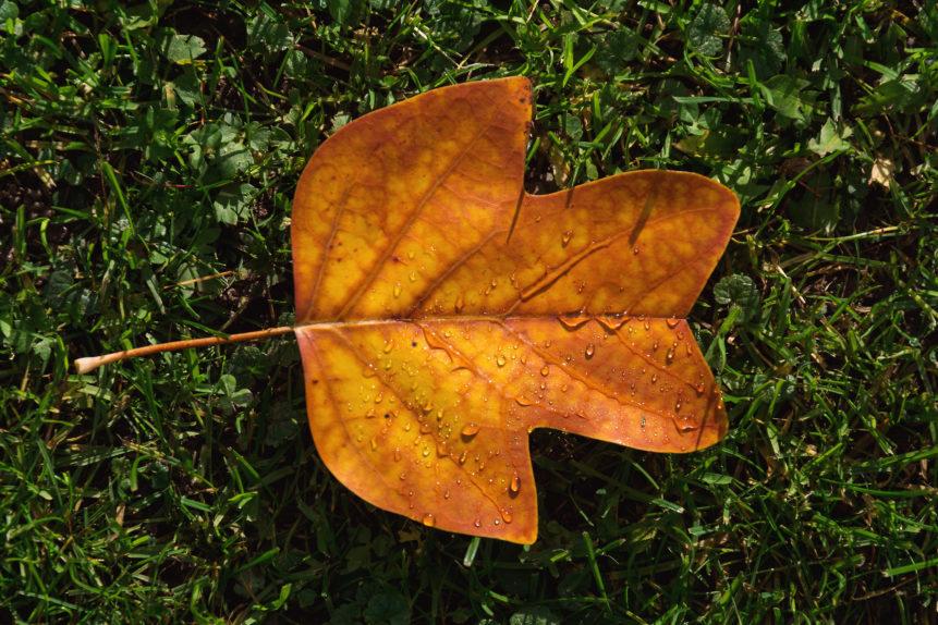 autumn leaf on green grass