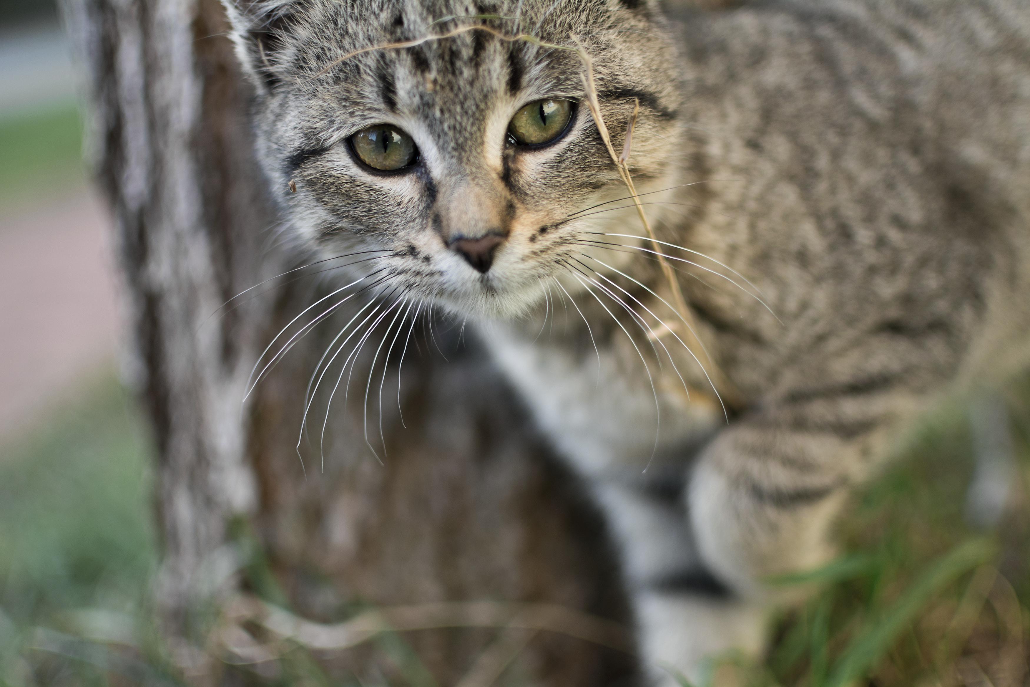 free image curious gray cat libreshot public domain photos