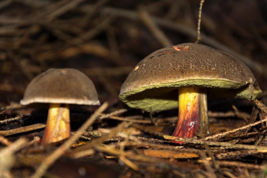 Two mushrooms close up