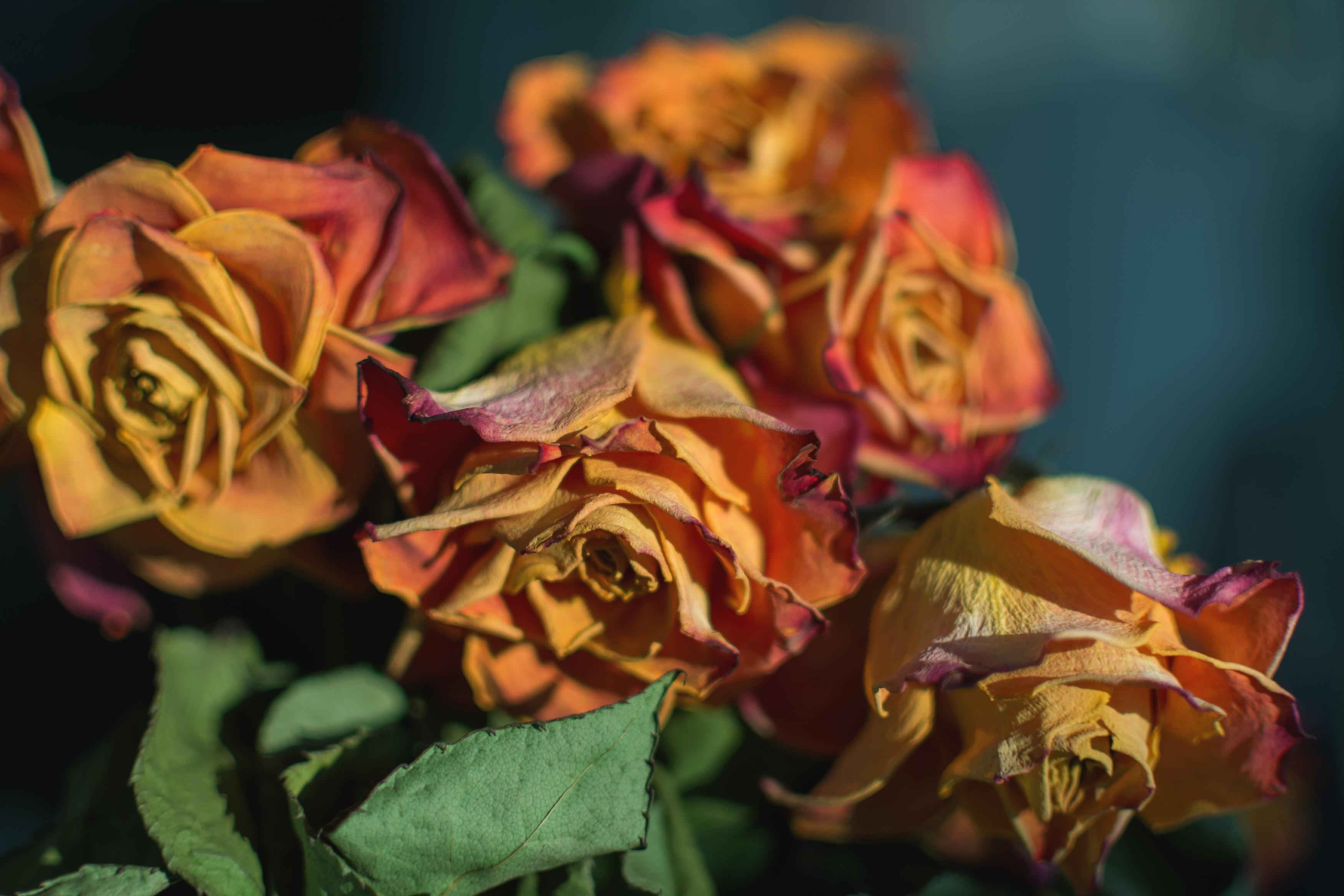 FREE IMAGE: Dry Roses - Libreshot Public Domain Photos