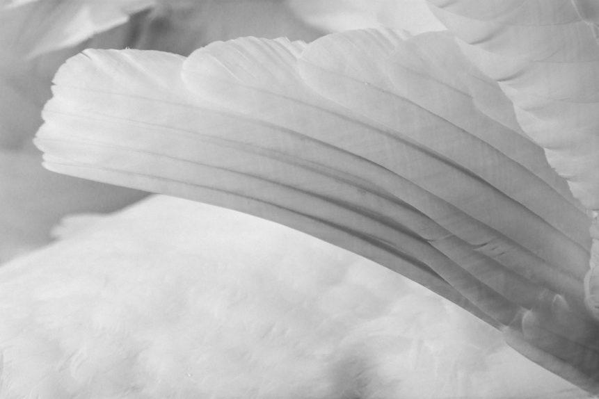 FREE IMAGE: Swan Wing - Libreshot Public Domain Photos