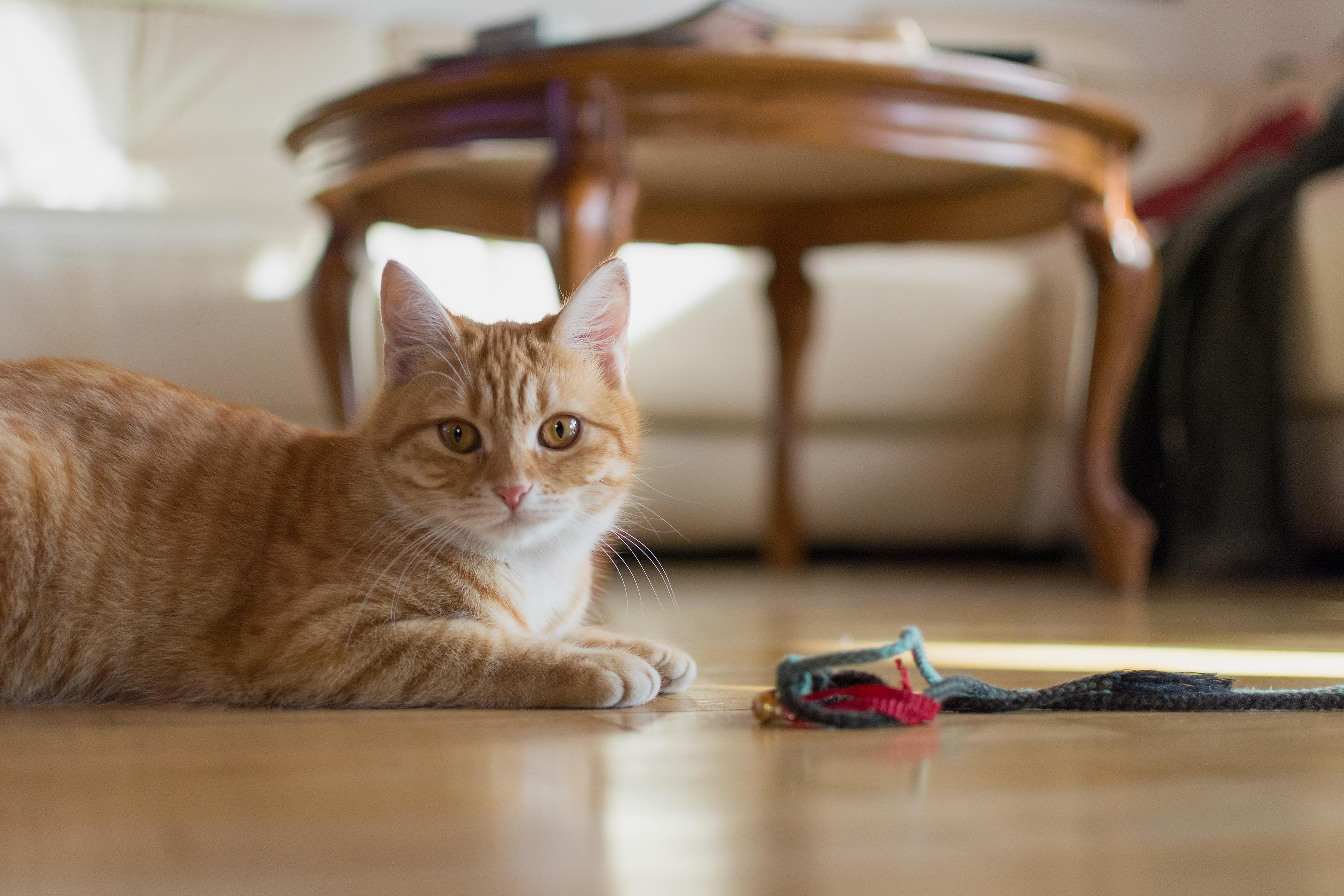 Cat At Home Free Stock Photo Libreshot