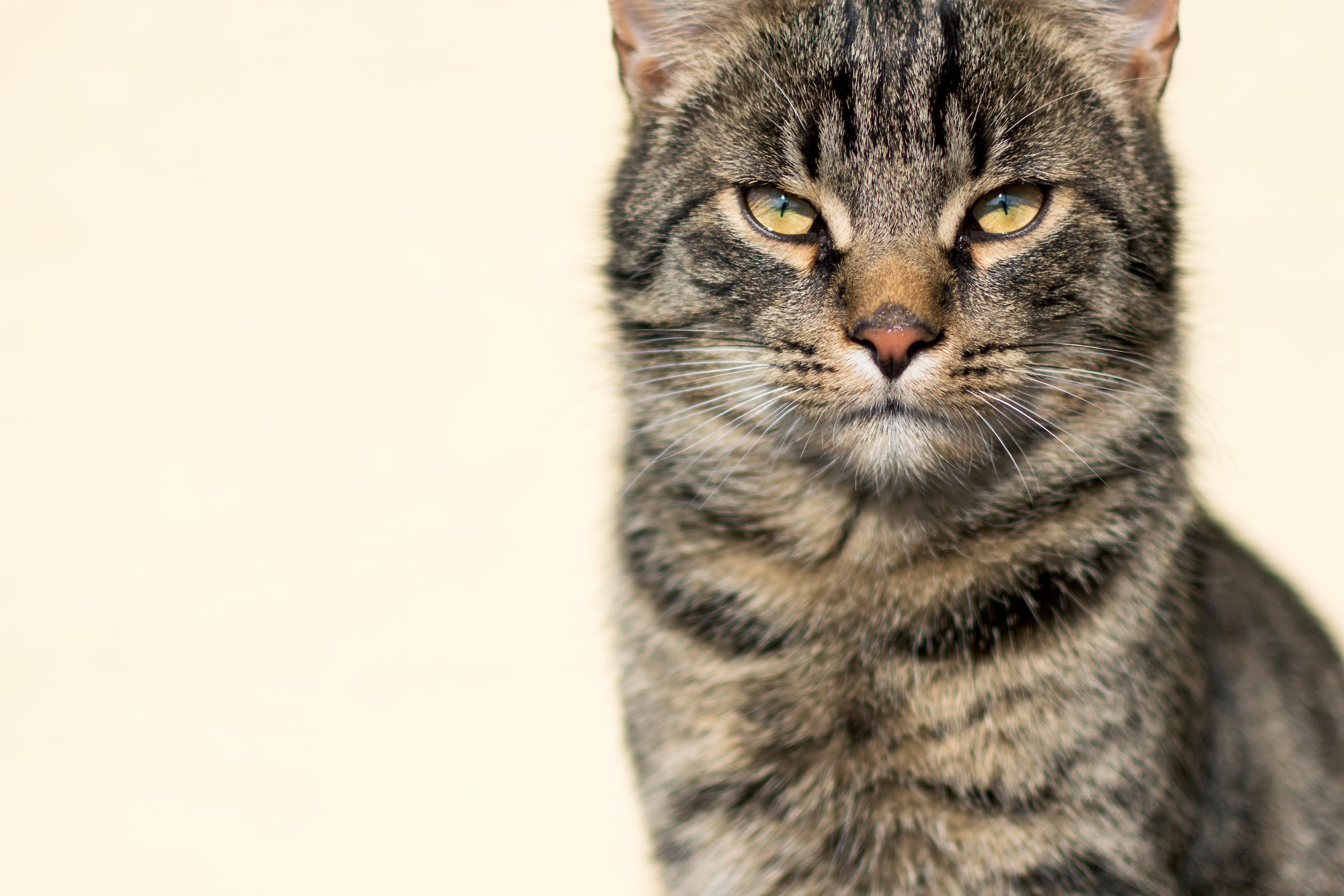 Wise Cat Portrait Free Stock Photo Libreshot