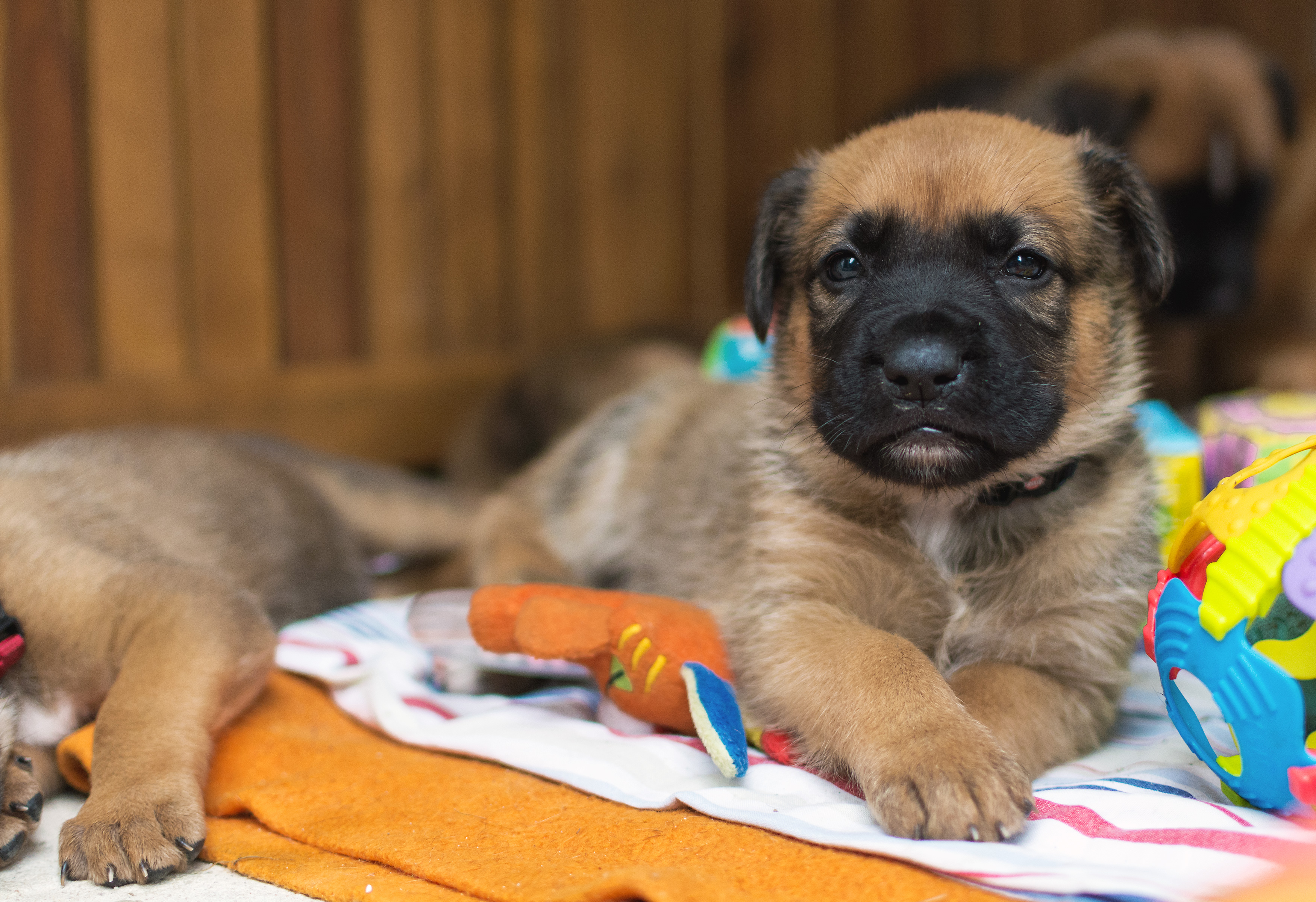 Puppy Of A German Boxer And A German Shepherd Free Image On Libreshot