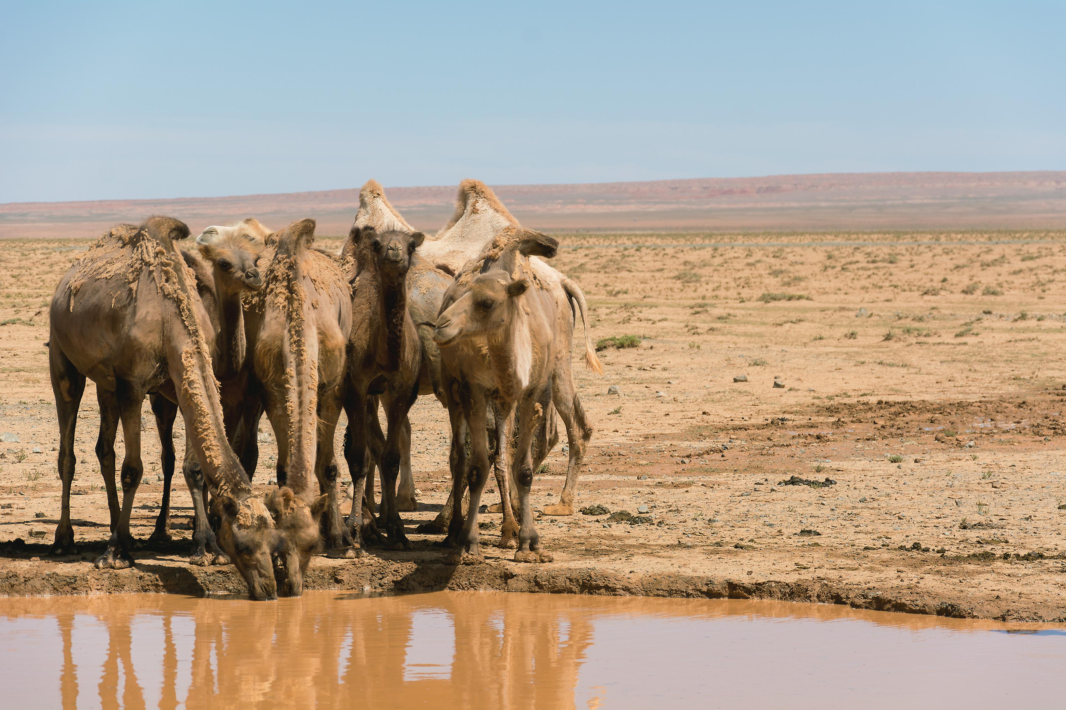 Drinking camels in desert | FREE image on LibreShot