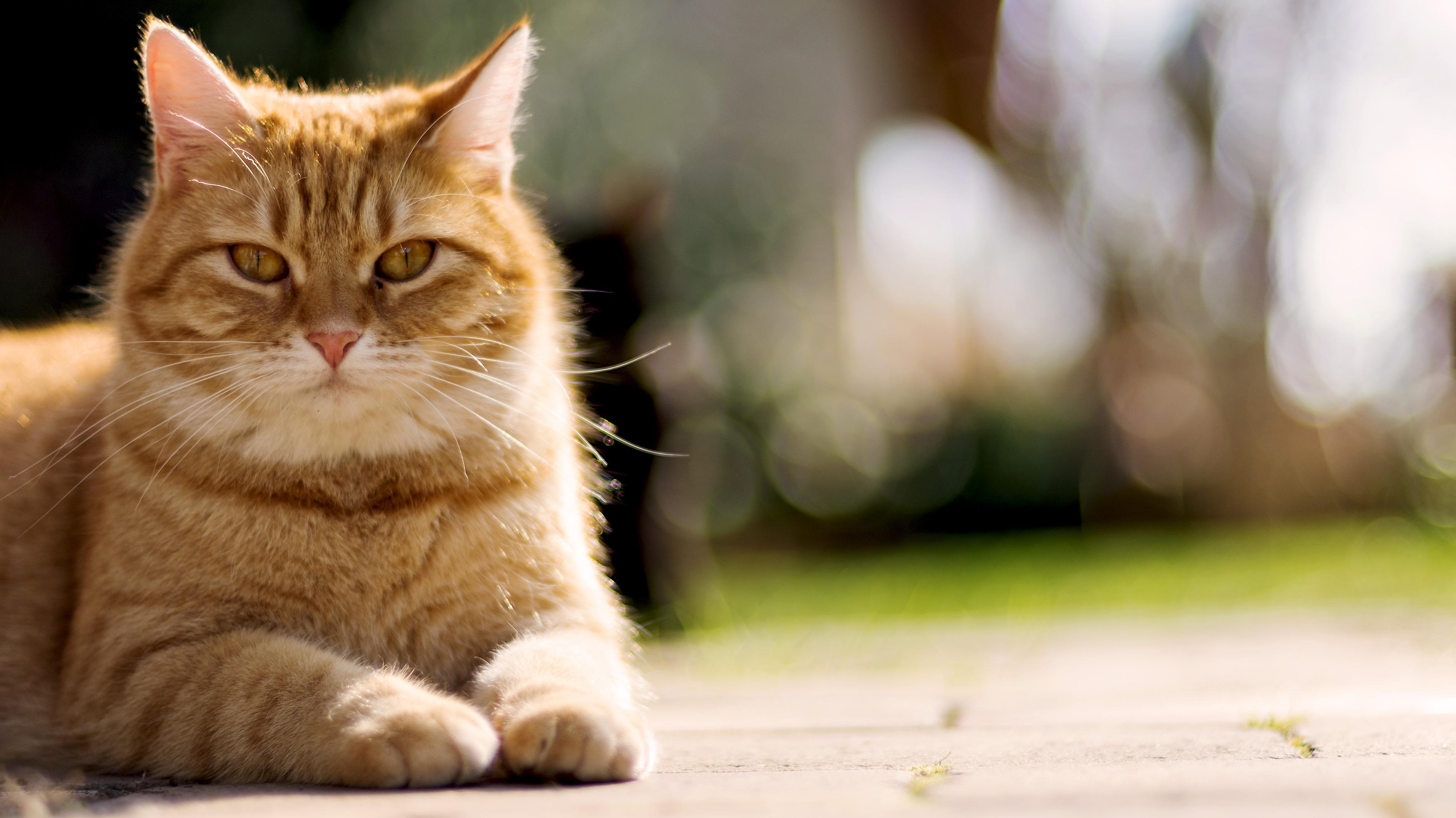 Portrait Of Lying Cat Free Stock Photo Libreshot